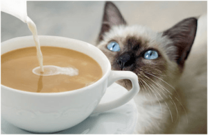 caffeine and chocolate not feed cats