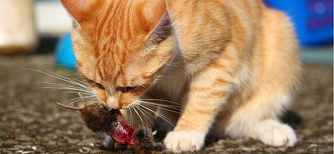 Why Do Mother Cats Eat Their Kittens