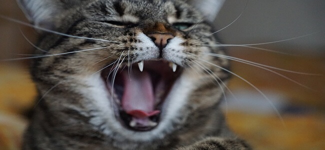 Cats Crying at Night Superstition - Reasons & How to Stop