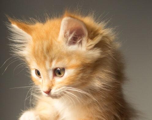 feed 4weeks old kittens calories